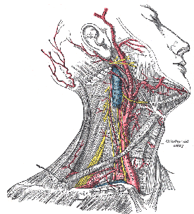 Neck Anatomy from Wikipeidia Images
